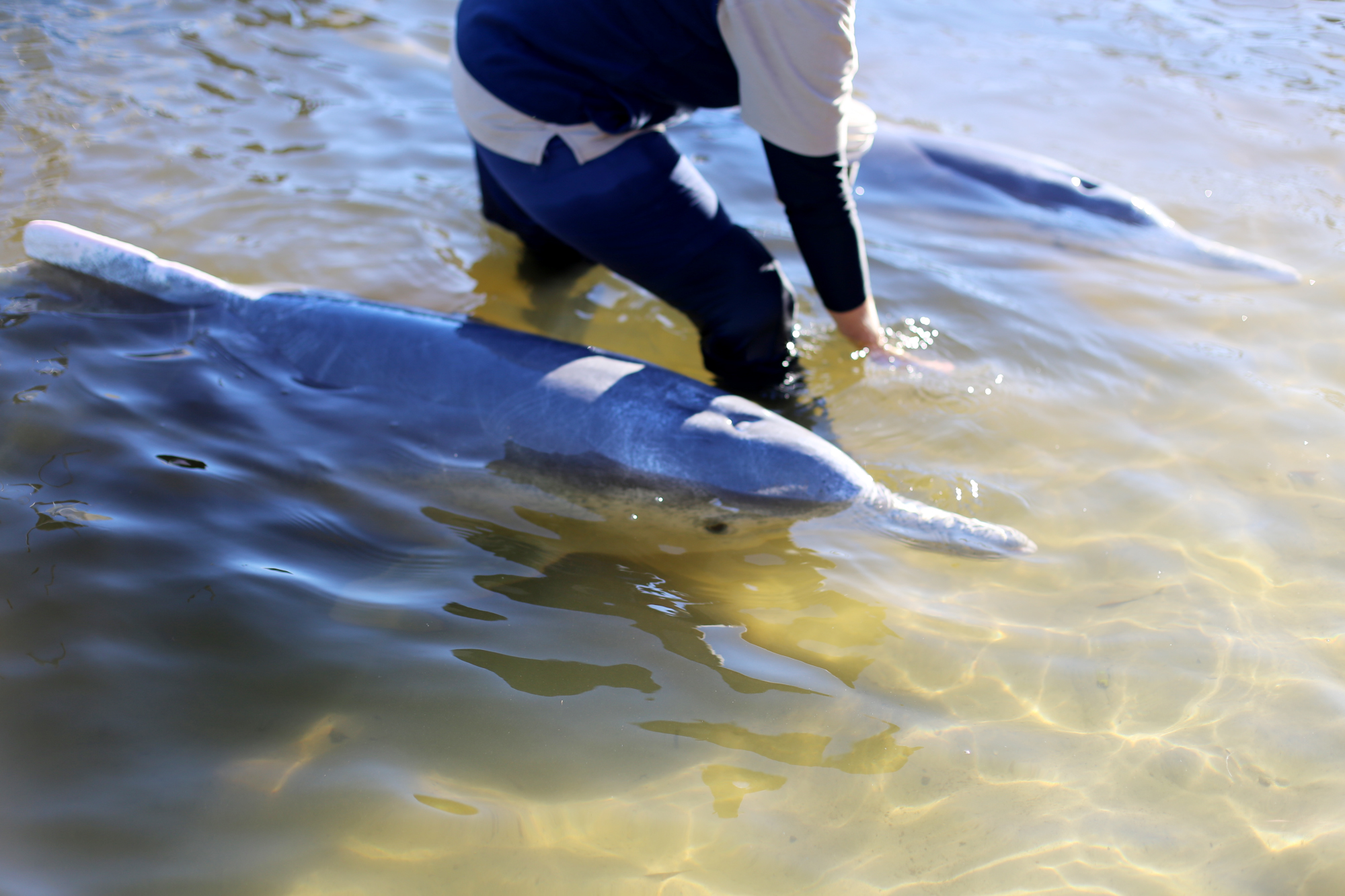 mata vilda delfiner i tin can bay