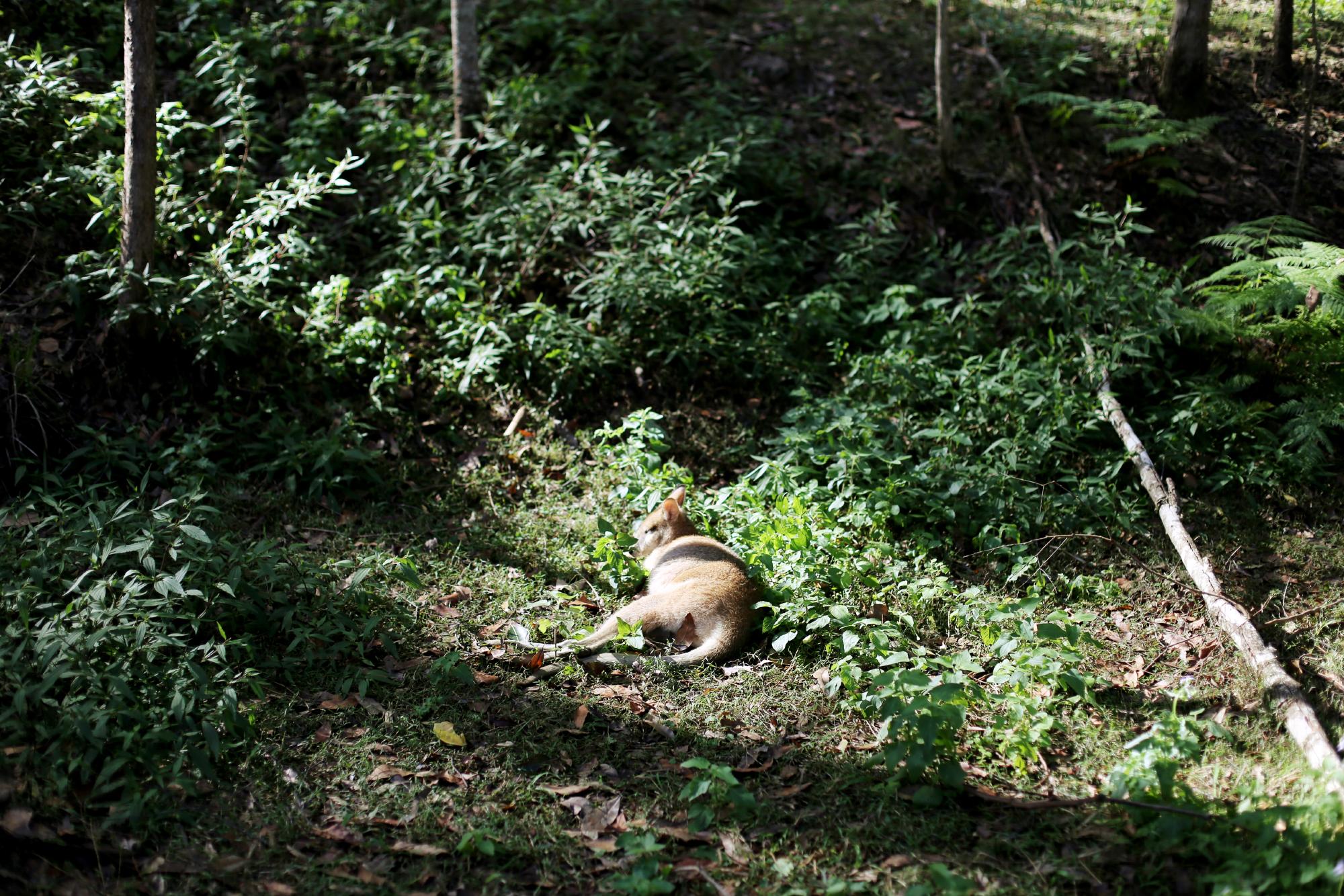 flying foxes & gosa med en pademelon